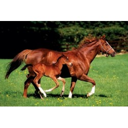 Maxi Poster MARE & FOAL - Horse